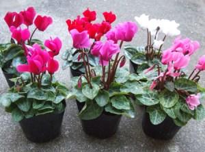 Gardencyclamen (10)