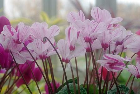 Gardencyclamen007