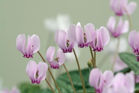 Primitive cyclamen (3)