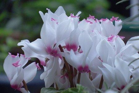 gardenCyclamen002