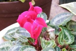 gardencyclamen1024-20