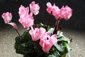 gardencyclamen1024-22