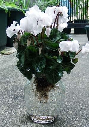 gardencyclamen-suiko04