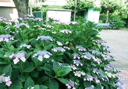 剪定 時期 紫陽花