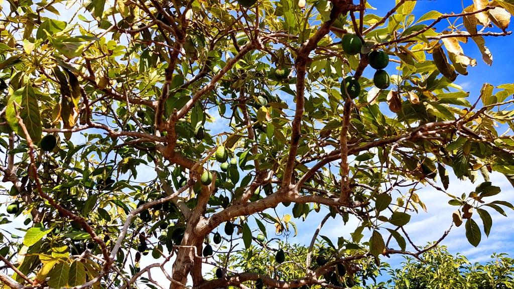 Co warto zobaczyć w Nerji i okolicy - drzewa awokado