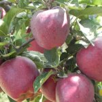 Iran exports 740,000 tons of apple