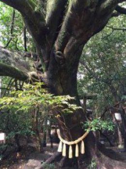 神龍八大龍王神社 老木