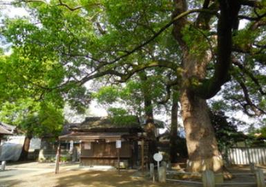 七生稲荷神社 ご神木