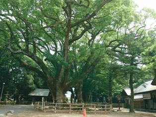 伊曽乃神社 大楠