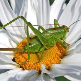 """Heupferdchen"" green-grasshopper-nymph/ Foto: pixabay esiul"