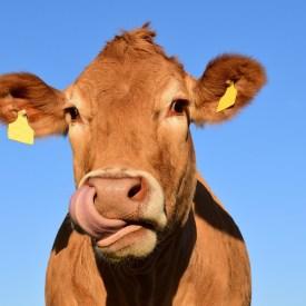Kuh/ -cow- Foto: pixabay -ulleo-