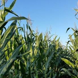 Maisfeld/ cornfield Foto: pixabay -tdahl-