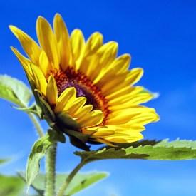 Sonnenblume/ -sun-flower- Foto:pixabay -Couleur-