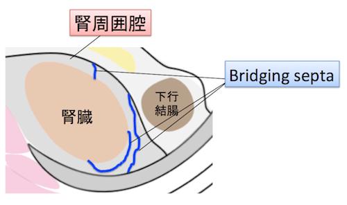 bridging septa
