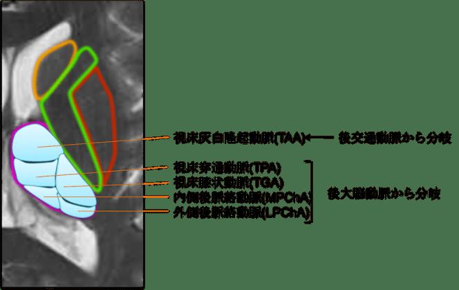 blood suply of basal ganglia1