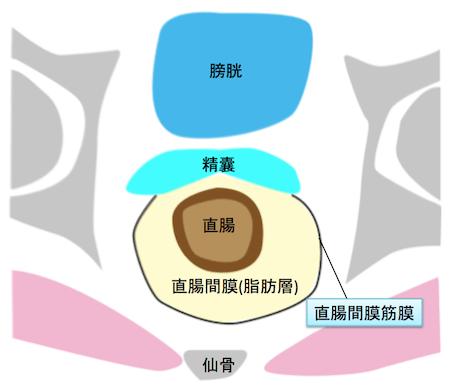 mesorectum&mesorectal fascia2