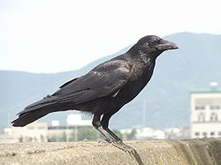 250px-Carrion_crow_20090612