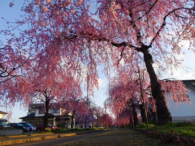 日中線記念しだれ桜
