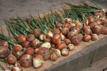 の 追肥 玉ねぎ 【玉ねぎの栽培方法】 肥料時期や追肥のやり方について