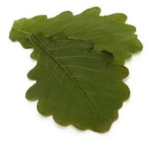 カシワの葉っぱ