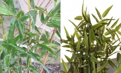 竹と笹の比較