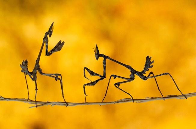 pelea de 2 mantis religiosas