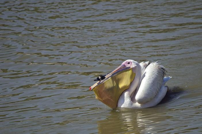 pelicano rosado carga en su hocico a un pato