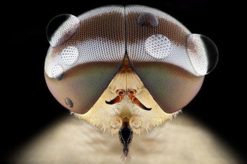 mosca blanca