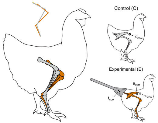 diagrama-pollo-dinosaurio-premio-ig-nobel