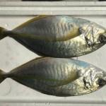 2017/09/09 釣り魚買取り千葉産シマアジ  くら寿司新メニュー 出張寿司職人
