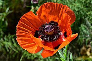 flor de la amapla
