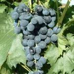 """Vigne """"résistante"""" Galanth"""