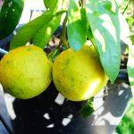 Ichang Lemon / FA5.-12ºC.