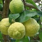 "Citronnier ""Jambhiri"" -10ºC (Bouture)"