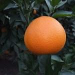Us 119 oranger résistant à -12°