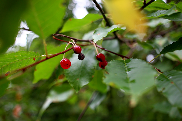 Prunus virginiana, Mustila