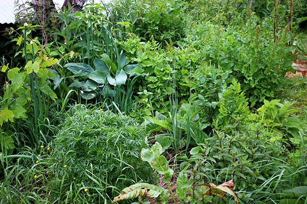Utan kväve blir det inga vackra gröna blad som i denna del av min skogsträdgård.