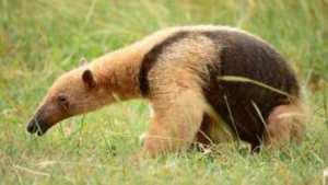 soñar con osos hormigueros