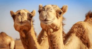 soñar con camellos