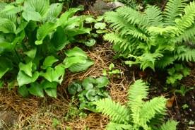 Perenna grönsaker: Funkia, vårsköna, strutbräken, getrams