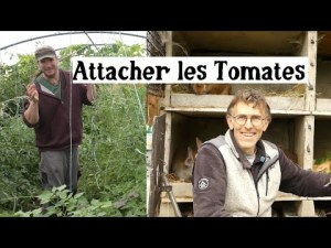 Potager : Attacher les tomates