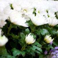町屋斎場の家族葬で使われる花の種類は?