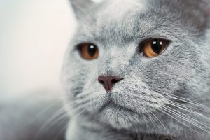 Portrait of beautiful grey cat on sofa, close up