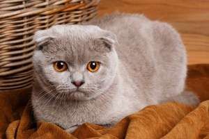 Beautiful gray cat with yellow eyes Scottish Fold on wooden background