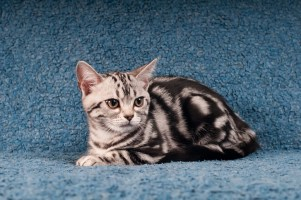 American shorthair kitten lie on blue sofa