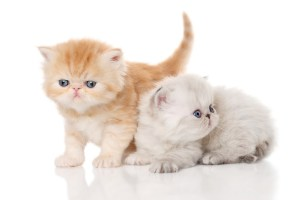 Two Persian kitten on white background. Studio shoot