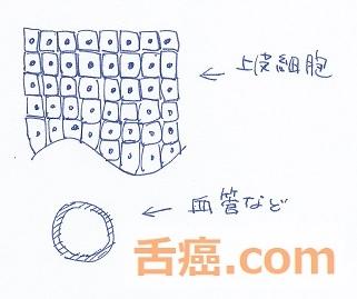 普通の上皮細胞