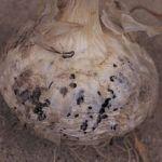 黒腐菌核病