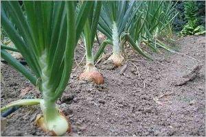 玉ねぎ 植え方