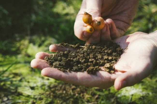 玉ねぎの植え付け時期